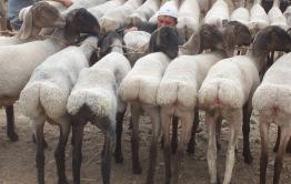 Одна баранья голова — хорошо, много — еще лучше: в Агинском округе запустили проект для увеличения поголовья овец