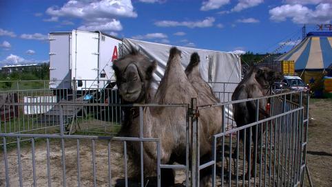 Животноводы Забайкалья застраховали 160 верблюдов