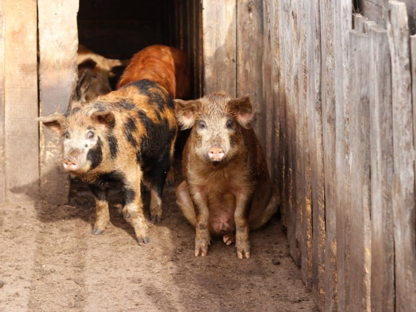 Начались выплаты пострадавшим фермерам из-за вируса АЧС в Забайкалье