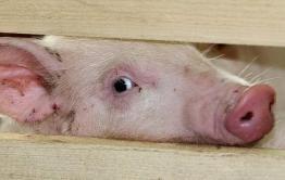 Ветслужба: африканская свиная чума может попасть в Забайкалье из Приморья