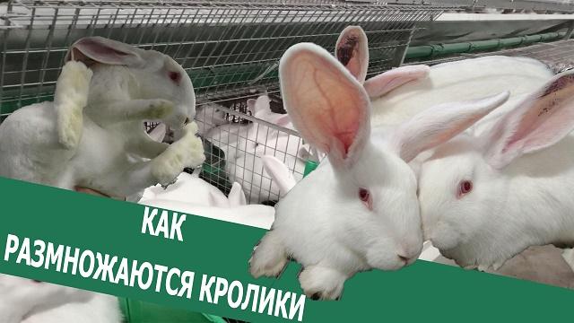 Вечорка ТВ: Как размножаются кролики