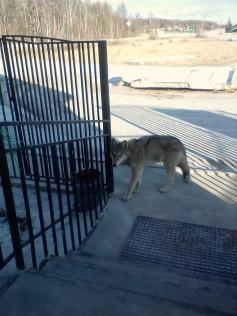 Волк в селе Иван-Озеро. 10 декабря 2019 г.