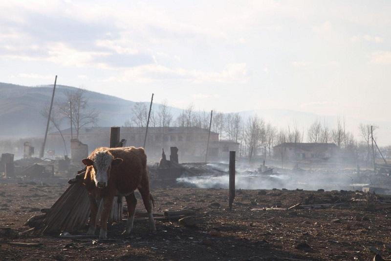 Лошади около Барун-Торея бродят вокруг дома, не находя своего навеса — он сгорел в пожарах (видео)