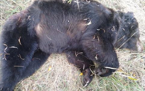 Медведь, поедающий собак в Куке, ликвидирован