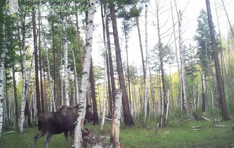 Нацпарк «Чикой» принял участие в конкурсе «Фотоловушка-2019». Сотрудникам удалось снять волка и лосей (Видео)