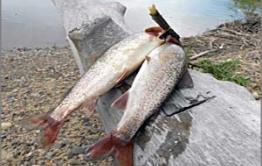 Росрыболовство запретило рыбалку в Забайкалье