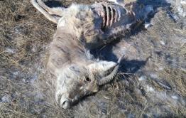 Вину в распространении ящура и уничтожение 224 КРС вменяют главному ветеринару Борзи
