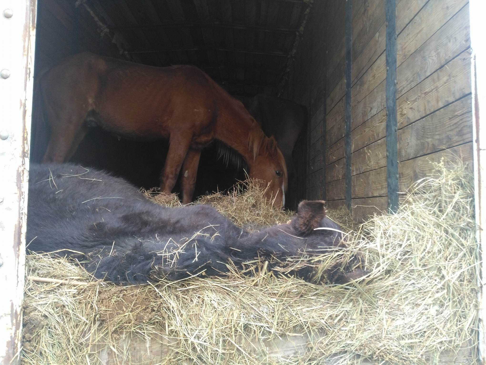 Ночью умер ещё один конь из 118, вывозимых из Забайкалья в Казахстан