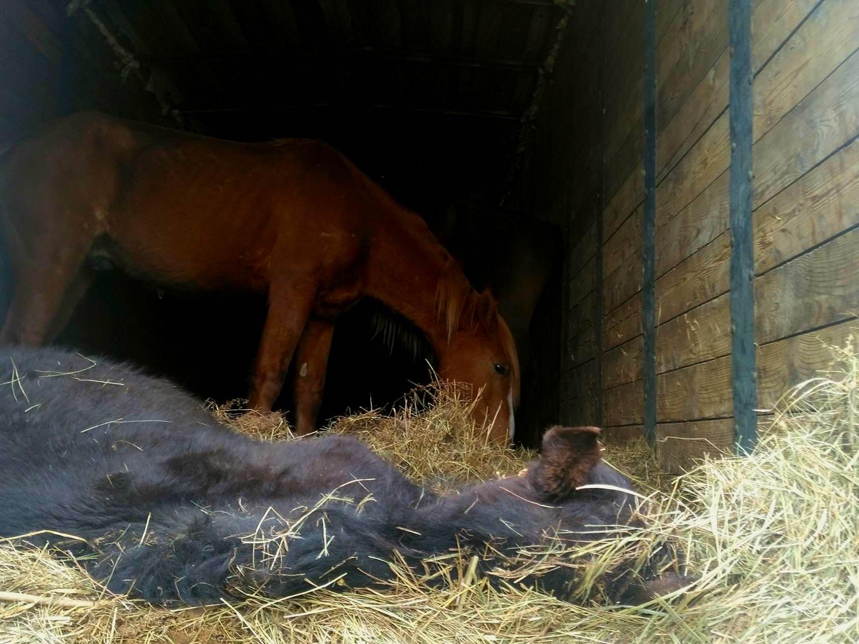 Лошадиный детектив: выжившие кони накормлены и напоены, жеребенка затоптали в фуре