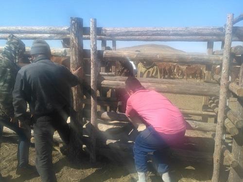Казахи поставляют забайкальских лошадок афганским моджахедам