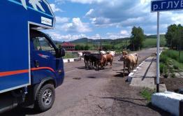 Телки и кобыла перекрыли трассу Нерчинск - Балей
