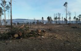 Предприниматели выпилили здоровый лес под видом горельника в Акшинском районе