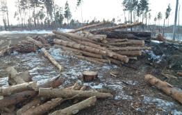 Минприроды не нашло нарушений в рубке леса в Акшинском районе
