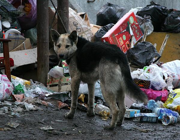 Расплодившиеся на неубранной помойке собаки покусали пенсионерку в Чите (видео)