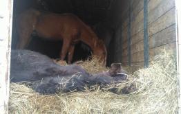 Полиция задержала скотокрадов в Могойтуском районе