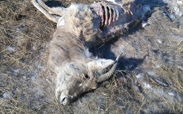 В Краснокаменском районе обнаружены 12 зараженных ящуром животных