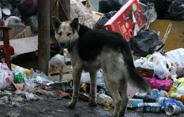 В Чите бродячие собаки нападают на жителей дачных кооперативов