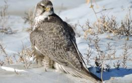 В Забайкалье начался период гнездования воронов и балобанов