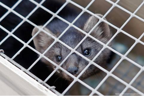 Соболь укусил мальчика в читинском зоопарке