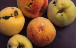 В китайских фруктах обнаружен опасный вредитель