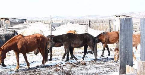 В Забайкалье задержаны конокрады, угнавшие 32 головы лошадей