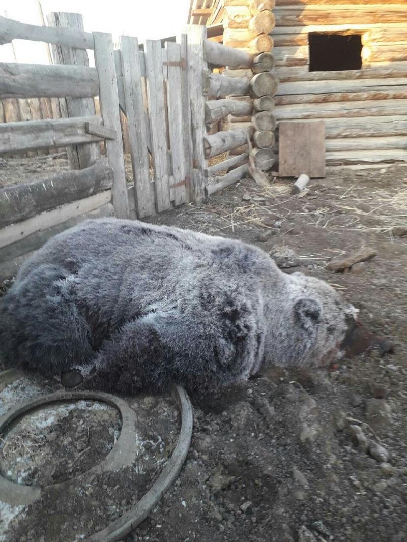 Застреленный 22 октября медведь в селе Барахоево. Специалисты отметили, что жира у мишки почти не было.