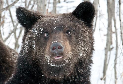 В декабре на юге Забайкалья лютовали медведи-шатуны-каннибалы-алкоголики