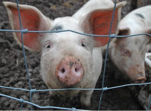 В Чите обнаружен очаг африканской чумы свиней
