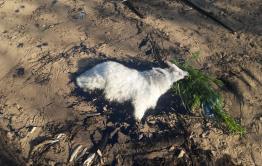 """Гудроновое озеро в Приисковой, о котором писала """"Вечорка"""", погубило козленка"""