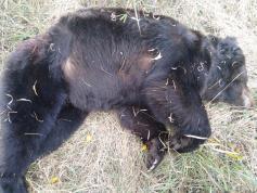 Убитый медведь в окрестностях села Токчин Дульдургинского района. 1 октября 2019 г.