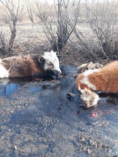 Бедные животные - если не горят, то тонут в гудроне. Приисковая, 5 мая