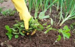 Арендатора участка обязали отчистить от сорняка более 1000 га