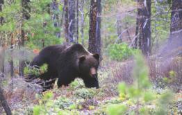 Жители Красночикойского района сообщают о нашествии медведей