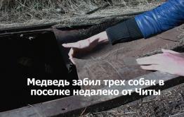 «ВечоркаТВ»: Медведь в Куке растерзал трех собак