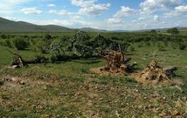 Поваленный несколько лет назад тополь в Акшинском районе пустил корни и расцвел (видео)