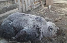 В Барахоево застрелили медведя