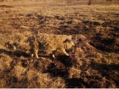 """Вот таких """"кудряшей"""" - свиней породы венгерская мангалица разводит фермер из Чернышевского района Сергей Колесников."""
