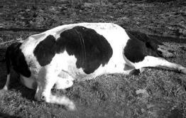 Жители села Шишкино жалуются трупный запах животных со стороны коровника