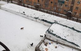 Бездомные собаки нападают на жильцов дома по Токмакова в Чите
