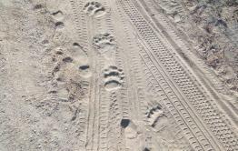 Медведя видели на автобусной остановке в 8 километрах от Читы