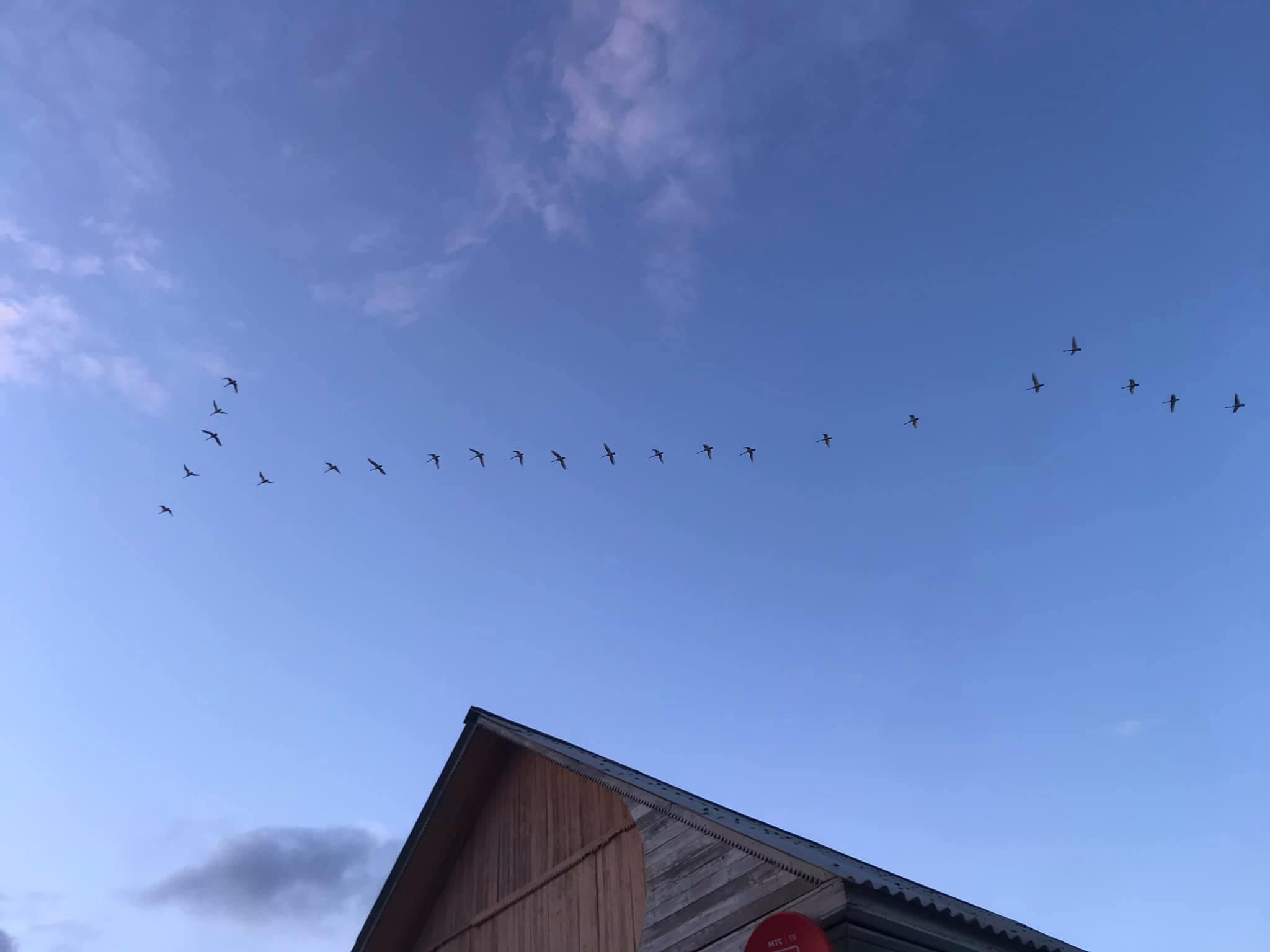 Лебеди возвращаются. Забайкалье, 6.05.2021. Фото Ц.Доржинимаева.