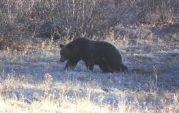 Медведь, который проник во двор дома в Кыре, был ликвидирован