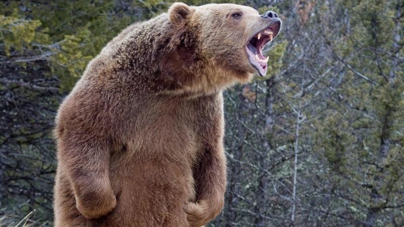 Мужчина находится в тяжелом состоянии после нападения медведя