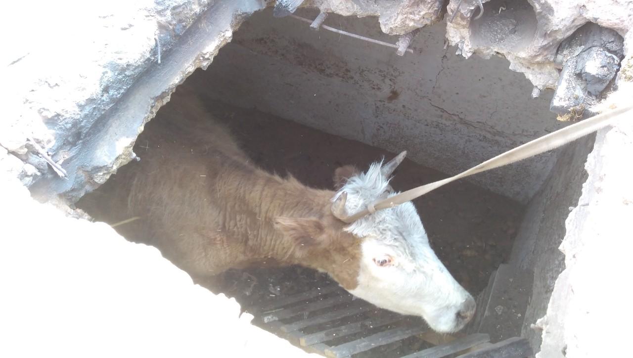 Жители Чинданта продолжают вытаскивать скот из пепелищ