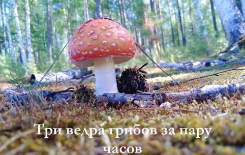 Три ведра грибов за пару часов в Чите — видеосюжет «Вечорки»