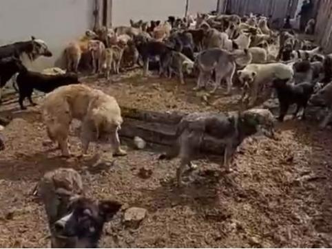 Прокуратура проверит информацию о поедающих друг друга собак в читинской колонии