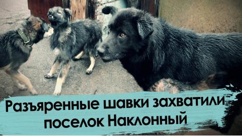 Собаки захватили поселок под Читой
