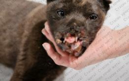 Уголовное дело возбудили по факту взрыва петарды в пасти щенка - виновный еще не найден