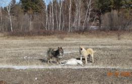 Собаки задавили двух краснокнижных дзеренов в Кыринском районе
