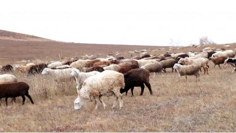 Забайкальским сельхозпроизводителям предоставят товарный заём для покупки баранов